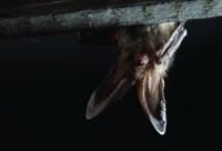 Bat Roosting In Attic