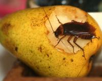 Roach Eating Fruit