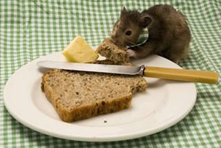 Rat Stealing Food
