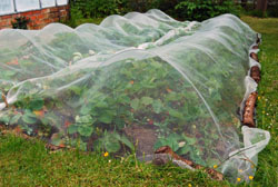 Strawberry patch covered by bird netting deterrent
