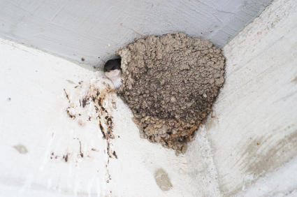 Remove Swallow Nests Now Or Be Stuck With Them Until Next