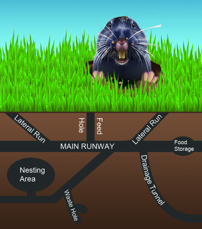 Gopher Burrow System Illustration - Tunnel Diagram