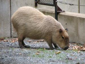"""Wahington ZOO capybara"". Licensed via Wikimedia Commons – http://commons.wikimedia.org/wiki/File:Wahington_ZOO_capybara.JPG#mediaviewer/File:Wahington_ZOO_capybara.JPG"