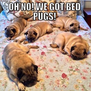 Pugs on a bed