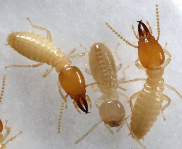 Formosan termite in San Diego
