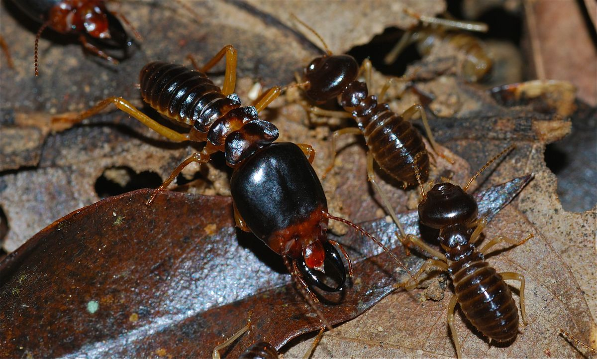 Determine Which Type Of Termite Is Eating Your House In San Diego